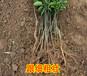 廣安大量批發臍橙苗木