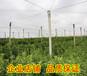 达州柑桔新品种苗出售&达州果苗价格多少钱&达州供应大量柑桔新品种苗