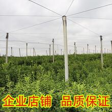 沃柑果苗价格|哪家沃柑果苗价格便宜|沃柑果苗批发