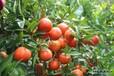 邵陽廣桔果苗出售&邵陽廣桔果苗價格多少錢&邵陽供應大量廣桔果苗