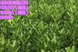 梧州柳城蜜桔營養杯苗出售&梧州柳城蜜桔營養杯苗價格多少錢一棵
