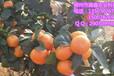梧州臍橙苗出售&梧州臍橙苗批發價格多少錢一株&梧州供應大量臍橙苗