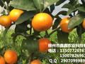 百色沃柑苗出售&百色沃柑苗批发多少钱一棵&百色大量批发沃柑苗图片
