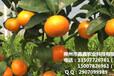梧州果苗出售&梧州果苗基地批發價格多少錢&梧州供應大量大棚果苗