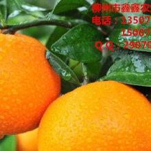 荔浦大量无核蜜橙苗批发_荔浦哪里有无核蜜橙苗买_荔浦无核蜜橙苗基地销售