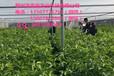 贺州供应沃柑杯苗|贺州沃柑杯苗基地批发多少钱|贺州鑫鑫农业沃柑杯苗