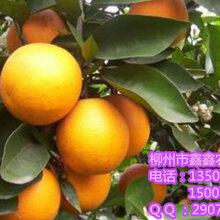 柳城大量皇帝柑树苗批发_柳城去哪里有皇帝柑树苗卖吗_柳城皇帝柑苗基地销售