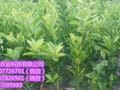 玉林皇帝柑果苗出售&玉林皇帝柑果苗价格多少钱&玉林供应大量皇帝柑果苗图片
