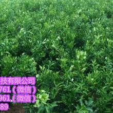 玉林供應桔子樹苗|玉林那里批發桔子樹苗?。窳嘱析无r業桔子樹苗價格