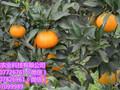 保山哪里有营养杯育柑橘苗的图片