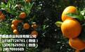 武鸣哪有东方红橘苗种植基地