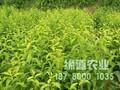 蜂糖李苗,正宗蜂糖李苗,蜂糖李苗四川培育基地图片