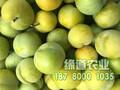 正宗蜂糖李苗,正宗贵州蜂糖李苗图片