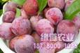 四川脆红李苗种植经验