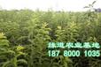 脆红李栽培技术,四川脆红李苗批发基地