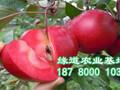 四川红肉苹果苗图片