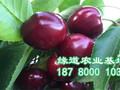 四川大樱桃苗,大樱桃树苗价格图片