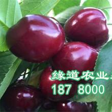 大樱桃苗价格2-4公分大樱桃树苗多少钱图片