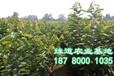 大樱桃苗批发基地2-4公分大樱桃苗价格