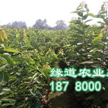 大樱桃苗批发基地2-4公分大樱桃苗价格图片