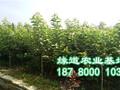 大樱桃苗,四川大樱桃苗价格行情图片