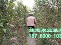 四川李子苗基地图片