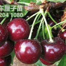 重庆大樱桃苗批发,重庆大樱桃树苗价格图片