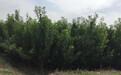 良种凤凰李子苗种植技术、良种凤凰李子苗种植技术