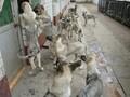 云南买狗狼青犬出售转让买卖的地方价格图片