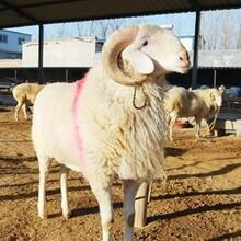 高腿小尾寒羊养殖场图片