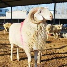 高腿小尾寒羊養殖場圖片