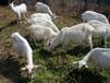 白山羊种羊苗