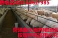 杜泊绵羊育肥羊出售