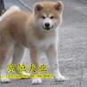 纯种秋田幼犬多少钱出售纯种秋田幼犬保健康