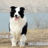 哪里有边牧犬出售七八三通品相好边牧照片