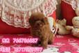 北京泰迪幼犬多少錢泰迪犬哪里出售包純包健康