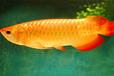 錦鯉魚鸚鵡魚龍魚銷售送魚上門