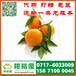 南阳水果批发特早橘子供应产地_水果批发特早柑橘水果价格