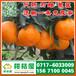 天门市西寺路特早柑橘产地直销_西寺路早熟柑桔最新价格