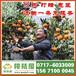 深圳市布吉特早蜜桔供应产地_布吉特早柑桔什么价格