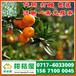 广州市增槎路特早柑桔供应产地_增槎路早熟蜜橘什么价格