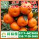 湛江市海田水果特早蜜桔销售价格_海田水果早熟桔子水果批发