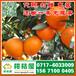 甘孜特早蜜橘市场价格,特早桔子来源电话156-7100-0405