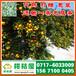 娄底特早柑桔代收价格,特早橘子来源电话156-7100-0405