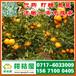 安徽迟熟密橘直供电话156-7100-0405和县中熟桔子供货渠道