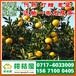 四川甘孜晚熟密桔供货电话156-7100-0405晚熟密橘水果市场