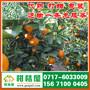 江苏早熟柑桔水果供应,新沂中熟橘子批发电话156-7100-0405图片