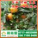 吴忠特早柑桔代办电话156-7100-0405特早橘子供应商