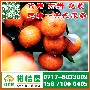 广东早熟柑桔专业代办,肇庆迟熟蜜桔销售电话156-7100-0405图片