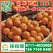 内蒙古早熟橘子水果市场,乌兰察布特早蜜橘供应电话156-7100-0405